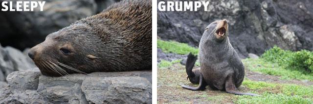 grumpy seal