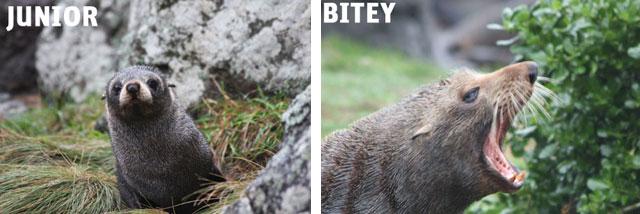 bitey seal